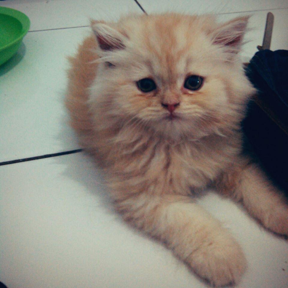 Cara Merawat Kucing Persia Angga Sanusi